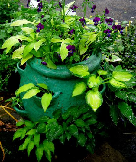 Growing these miniature hostas in a strawberry pot brings them closer to eye level. There are 16 miniatures hostas in there.
