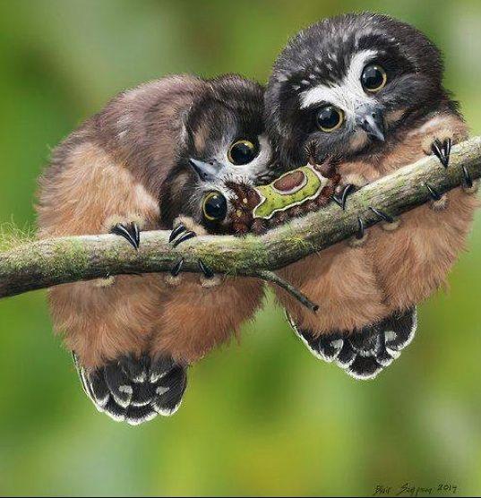 Northern Saw-whet Owl (Aegolius acadicus) Juvenile and Saddleback Caterpillar