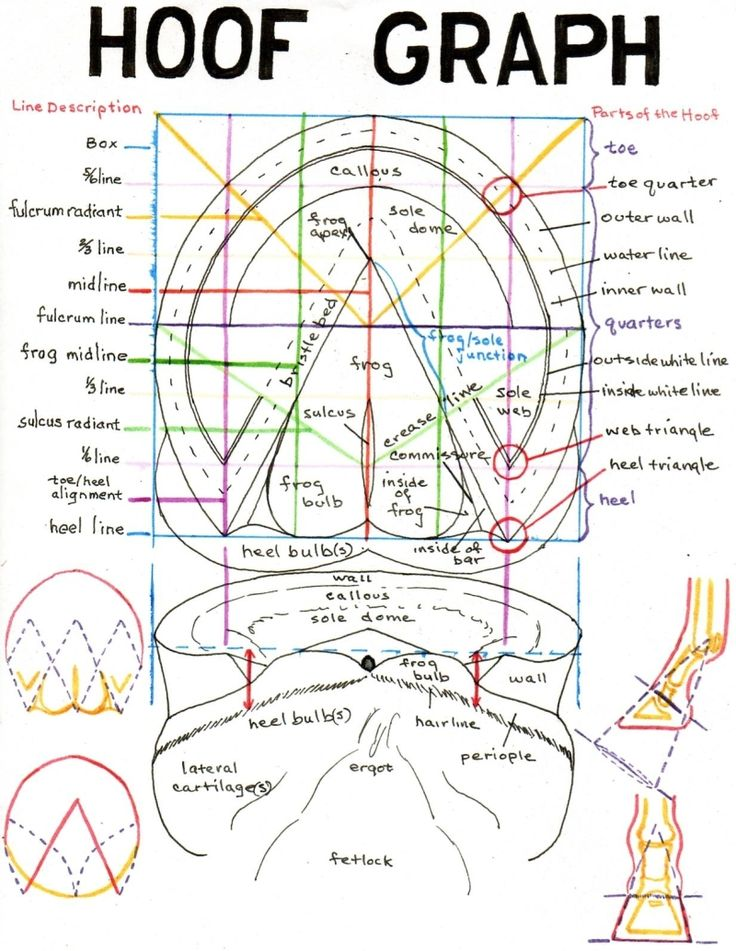 Hoof graph - important to know your horse's feet.. (plus the coolest horse anatomy website ever!)