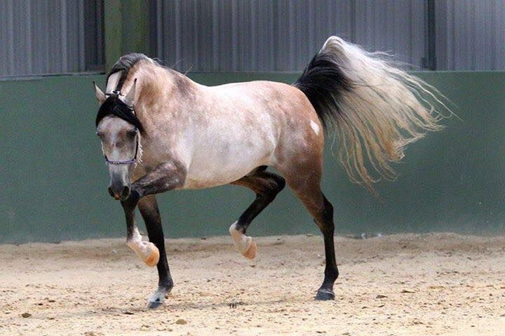 Amazing rose grey Arabian