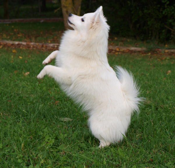 A modern Mittelspitz, or medium-sized German Spitz. This dog has a very similar body type to the Melitan - spitz-type face, triangular ears, curled tail, thick fluffy coat, and solid white colour. It is somewhat larger than the Melitan however.