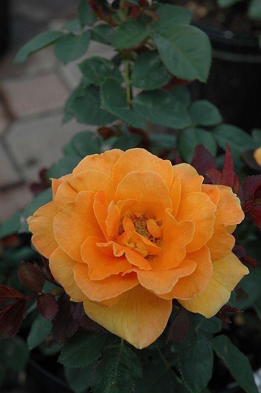 Find Vavoom Rose (Rosa U0027Vavoomu0027) In Oklahoma City Edmond Norman Moore  Oklahoma OK At TLC Garden Centers