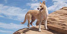 Portuguese Podengo, portuguese dog breed, Portugal