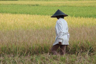 Bali Rice Reisterrasse Indonesia Indonesien