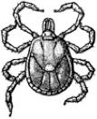 """Lone Star Tick -  lone-star-tick - Amblyomma americanum -  The lone star tick is prevalent in the Southwest and can transmit Rickettsia, Tularemia, Ehrlichia, Q fever and tick paralysis as well as Borrelia lonestari, which causes """"STARI,"""" an illness almost identical to Lyme."""