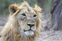 Asiatic lion - Wikipedia, the free encyclopedia