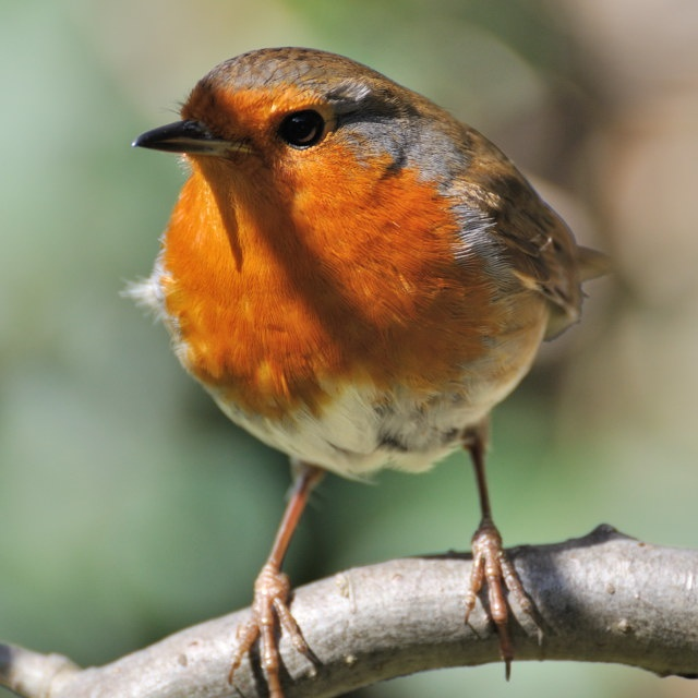 Image result for when do we change clocks IN MARCH ROBIN REDBREASTS spring 2017?
