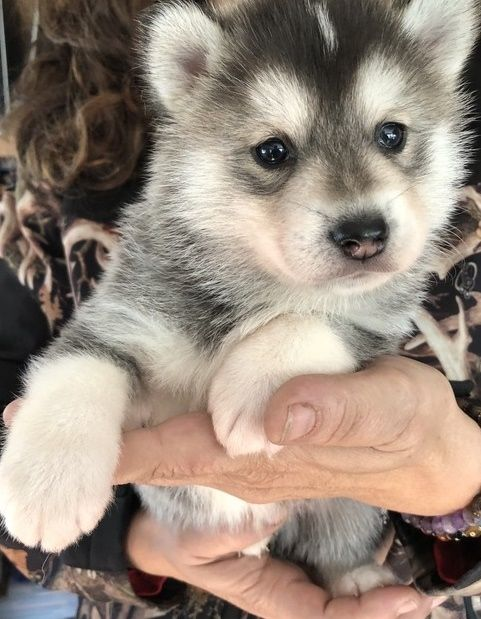 Registered Siberian Husky Puppies Available Now For Sale Adoption From Malaga Western Australia Perth Metro Adpost C Husky Puppy Siberian Husky Puppies Husky