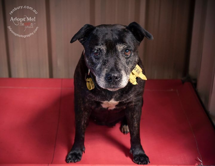 Jazz... she's 9 years old and was found on New Year's Eve yet her family still haven't come for her. Heartbreaking to see this gorgeous old girl waiting patiently. She's at Renbury Farm Animal Shelter if you are seeking to give an older dog a loving home  | by Jo Lyons Photography
