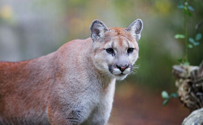 New Mountain Lion Sighting In The Hollywood Hills Brings Hope | Care2 Causes