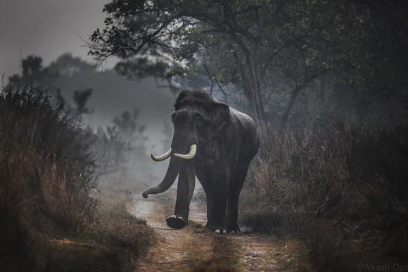 Tusker in the rain