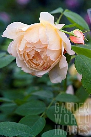 David Austin Rose 'Grace' A truly beautiful rose that is deep apricot in the centre and paler at the edges. Delicious war sensuous fragrance.