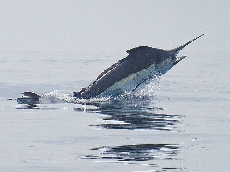 Brazil is known for its great Atlantic blue marlin fishing