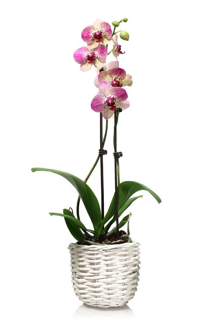 Wicker White Pot Complements Pink Orchid Colors Photos