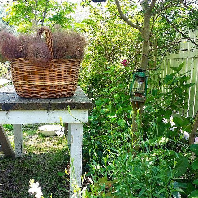 . . #スモークツリー 伐採したので、お花は植物好きなご近所さんにおすそわけ このままご自由にお取りくださいって置いてたらなくなるかしら…?(°▽°) なにこれ?って思われるのがオチ?(笑) . . 2016.6.10 #ガウラ#マーヤ#シマトネリコ