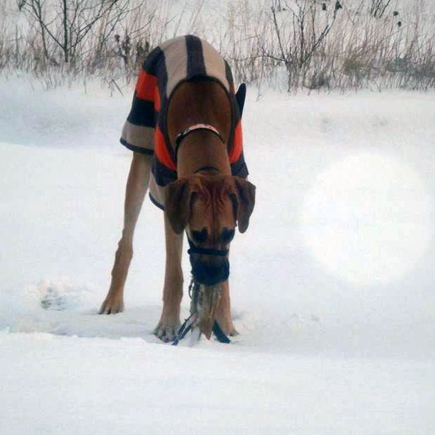 Valerie Risk's dog Dixie checking out the snow