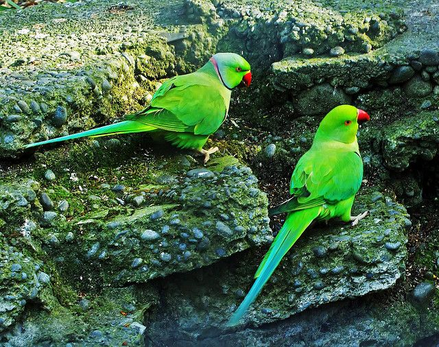 The Indian Ringnecked Parrot or Parakeet is found in Southern India. Also known as Rose-Ringed Parakeet, these birds have proved to be an adaptable species. Photo credit: http://bit.ly/1cwCB1P