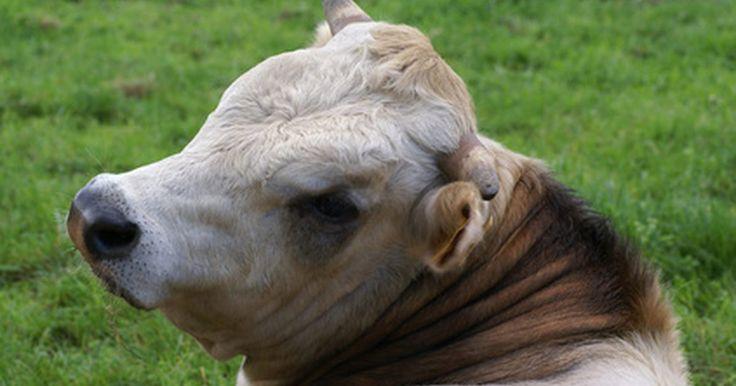 ¿Cómo es de diferente el ojo de una vaca en relación a uno humano?. Los ojos humanos y de la vaca son estructuralmente similares en muchos aspectos. Los globos oculares de los humanos como los de la vaca tienen la esclerótica, o parte blanca de la estructura de globo ocular, córnea o clara sobre el iris y la pupila, el cristalino, humor vítreo, la retina y la coroides. La coroides es la capa del globo ocular que ...