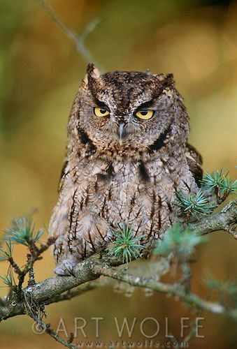 Western screech-owl, Washington