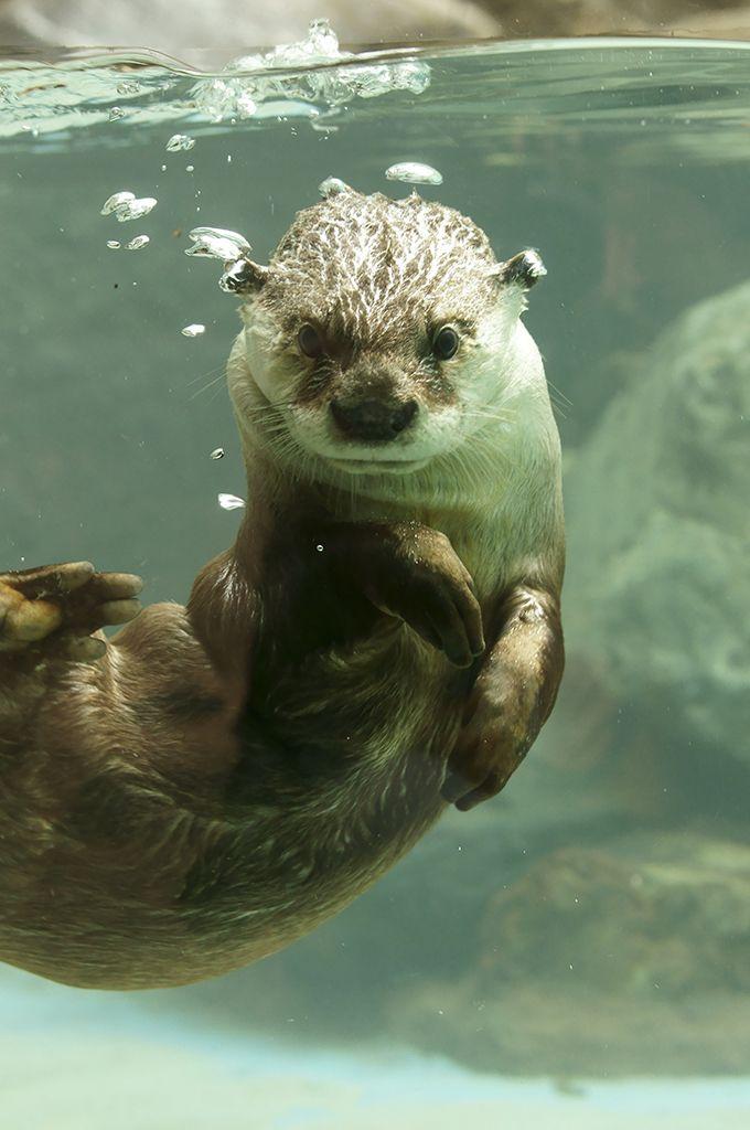 Esther Williams Has Nothing on Otter  Thanks, kashiwaya920!