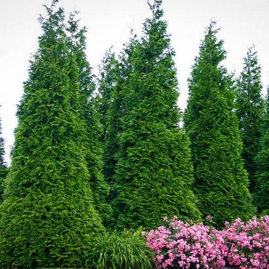 Thuja Green Giant Trees For Sale | The Tree Center™