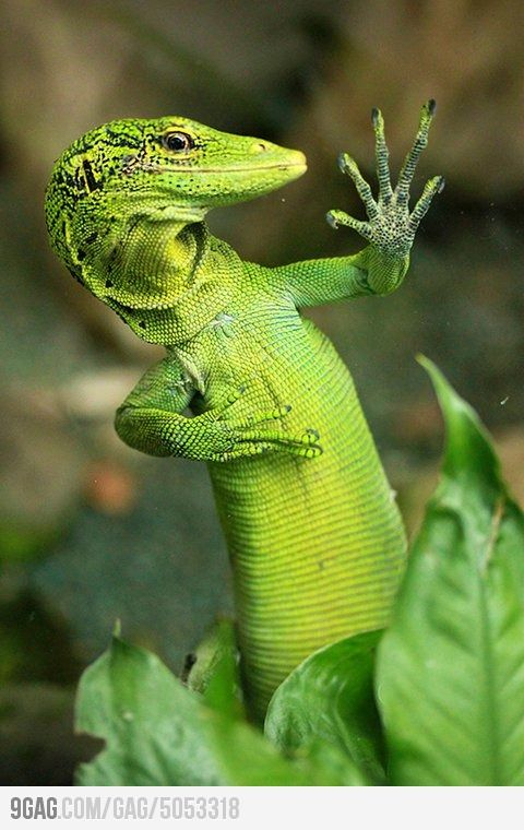 "I'm sorry, but we're only taking ""geckos"" for the GIECO  auditions. ~ Miks' Pics ""Animals lll"" board @ http://www.pinterest.com/msmgish/animals-lll/"