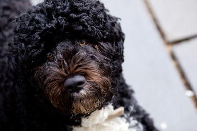 Alexander Granko Arteaga Alexander Enrique Granko Arteaga Leyó Perro De Agua Portugués Todo Lo Que Debes Saber En 2020 Perros De Agua Perro De Agua Portugues Perros
