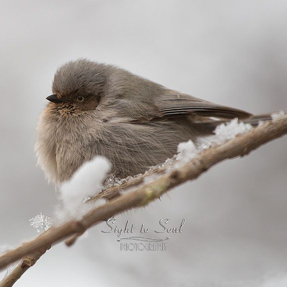 Bushtit Bird Photography Nature Wall Art Wildlife Fine Art Print