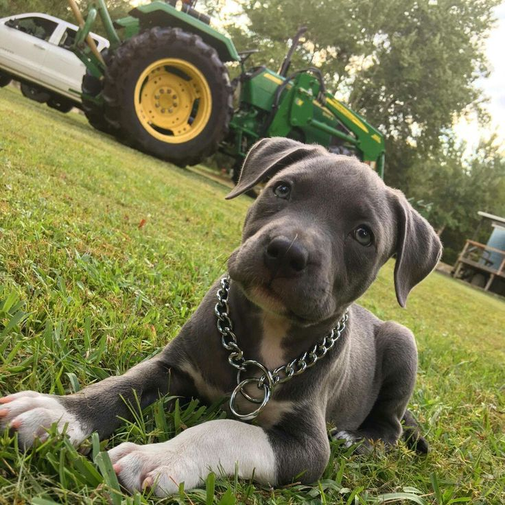 Pibble Cute animals, Dogs, Pit puppies