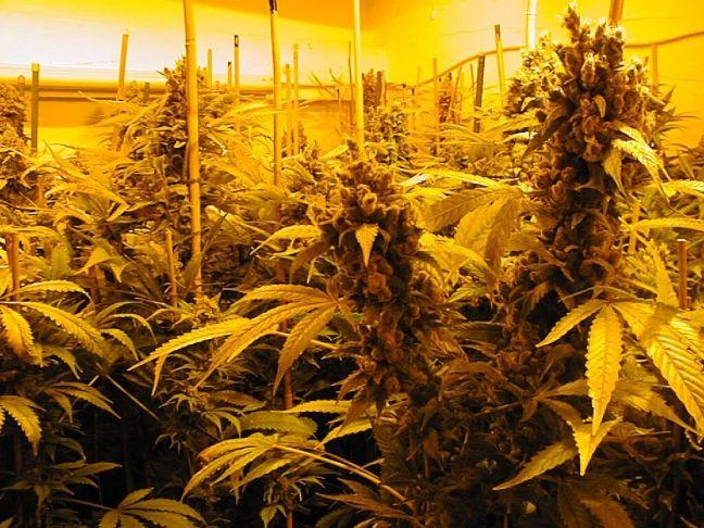 ¿Cosechas de marihuana cada 2 meses?  Consíguelo con esta guia para cultivar autoflorecientes en interior - http://growlandia.com/marihuana/cosechas-de-marihuana-cada-2-meses-consiguelo-con-esta-guia-para-cultivar-autoflorecientes-en-interior/