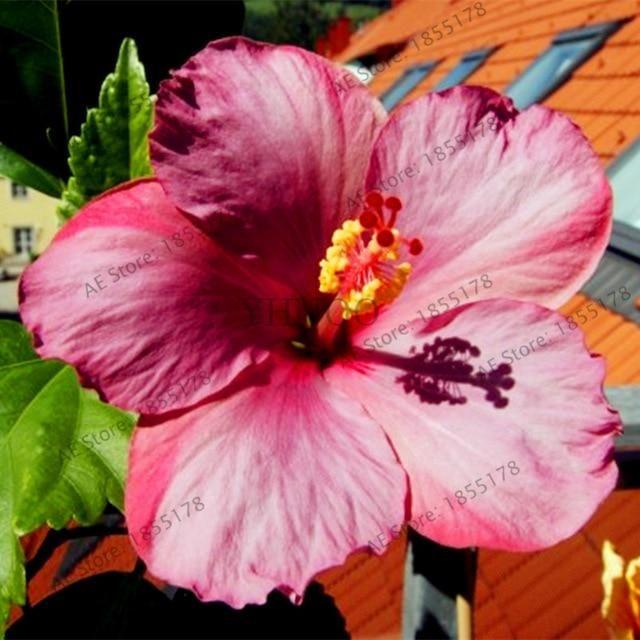 100pcs Bag Hibiscus Bonsai 24 Color Hibiscus Flower Garden