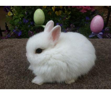 midget baby pets for sale | Netherland Dwarf Baby Bunnies ...