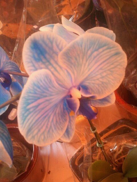 Orquidea Azul - Feira Vila Madalena