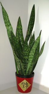 Snake Plant Care- all the info you need and how to limit their height