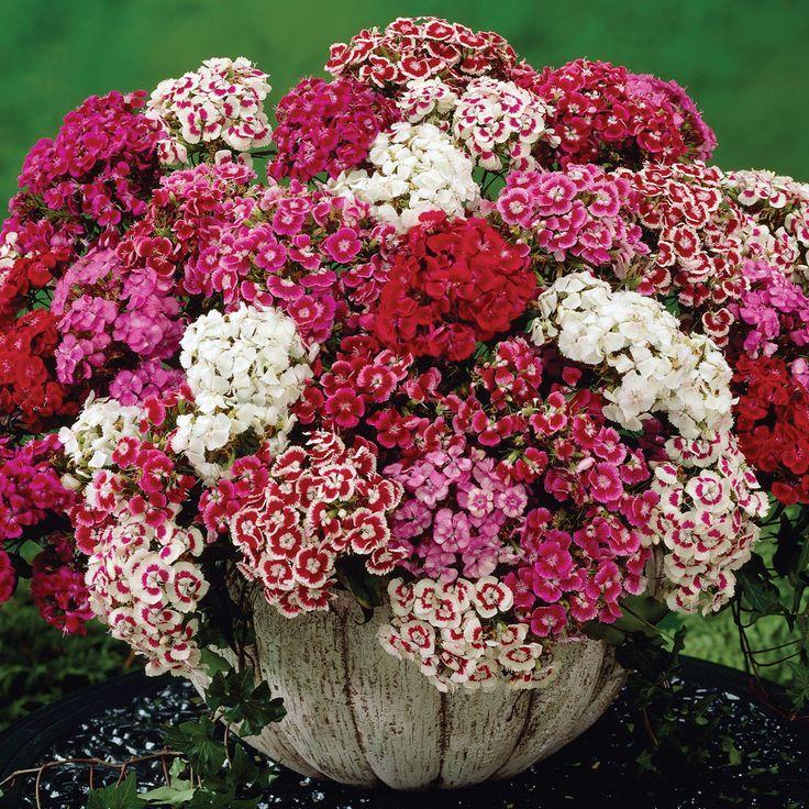 Dianthus barbatus 'Messenger' - Perennial & Biennial Plants - Thompson & Morgan