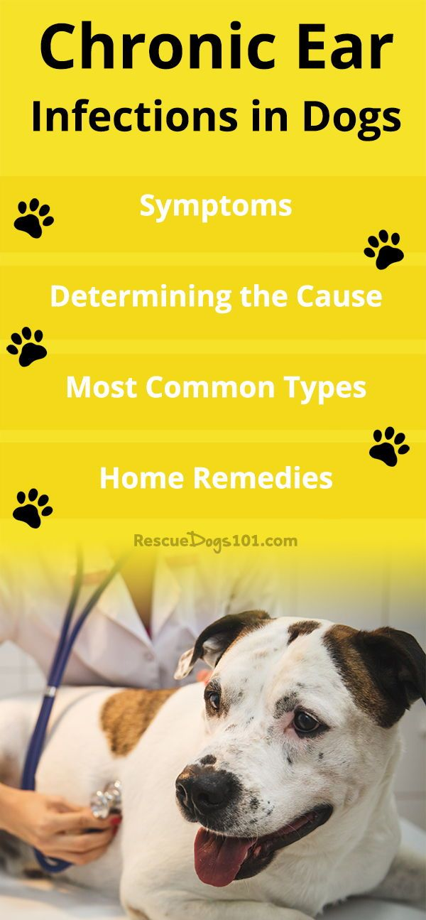 Chronic Ear Infections In Dogs Dog Health Dogs Ears