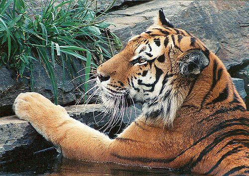 TIGER   by kenkeener1621