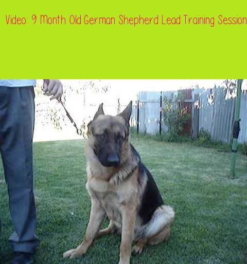 9 Month Old German Shepherd Lead Training Sessionsam My 9 Month