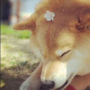 Best SHIBA Images On Pinterest Shiba Inu Akita And Dogs - Three shiba inus stick their heads through wall to greet passers by