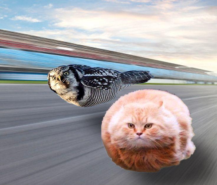 Imgur:#torpedocat #torpedoowl