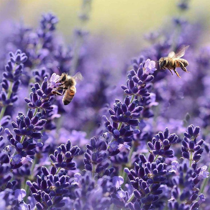 Lavendel Hidcote Blue 1 Pflanze Im 13 Cm Topf Jetzt Bestellen Bei In 2020 Winterharte Stauden Lavendel Hidcote Lavendel Pflanzen