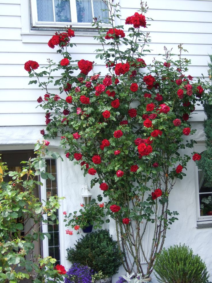 rose santana margeritten min egen hage my own garden. Black Bedroom Furniture Sets. Home Design Ideas