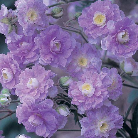 Geranium pratense 'Summer Skies'   Thompson & Morgan