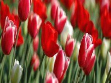 Wallpaper Facebook Cover Spring Tulips