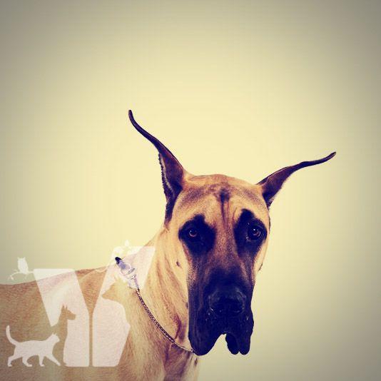 """Danua dikkat çekici ve muhteşem bir köpektir. Güçlü ve zarif olan bu ırk birçok yerde """"Kibar Dev"""" olarak adlandırılır."""