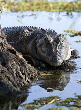 Crocodile at Yellow Water Billabong in Kakadu National Park