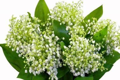 Gingașe și parfumate, dar toxice. Cele mai otrăvitoare flori http://www.antenasatelor.ro/curiozit%C4%83%C5%A3i/cel-mai,-cea-mai/8820-ginga%C8%99e-%C8%99i-parfumate,-dar-toxice-cele-mai-otravitoare-flori.html