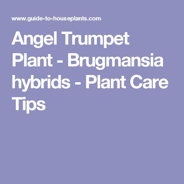 Angel Trumpet Plant - Brugmansia hybrids - Plant Care Tips