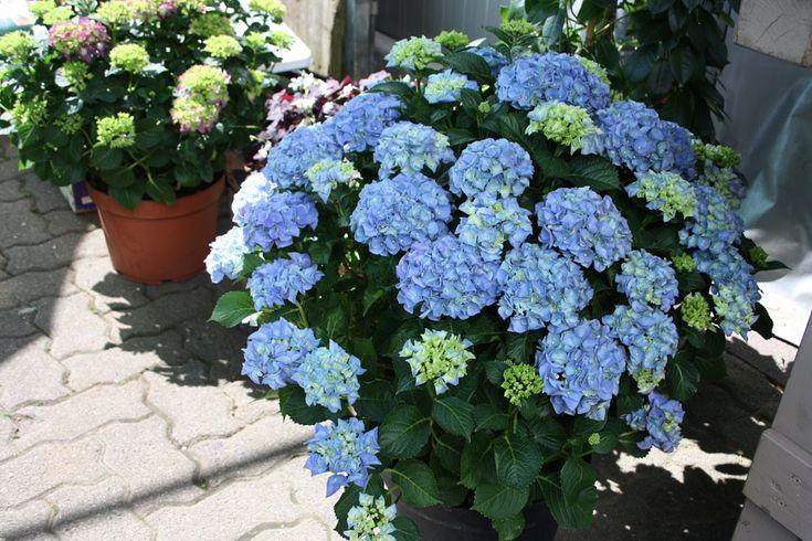 blaue Hortensie im Pflanzgefäß für die Terrasse, gesehen bei Blumen Kaiser in Hamburg, Harburg, Neugraben, Foto Birgit Puck