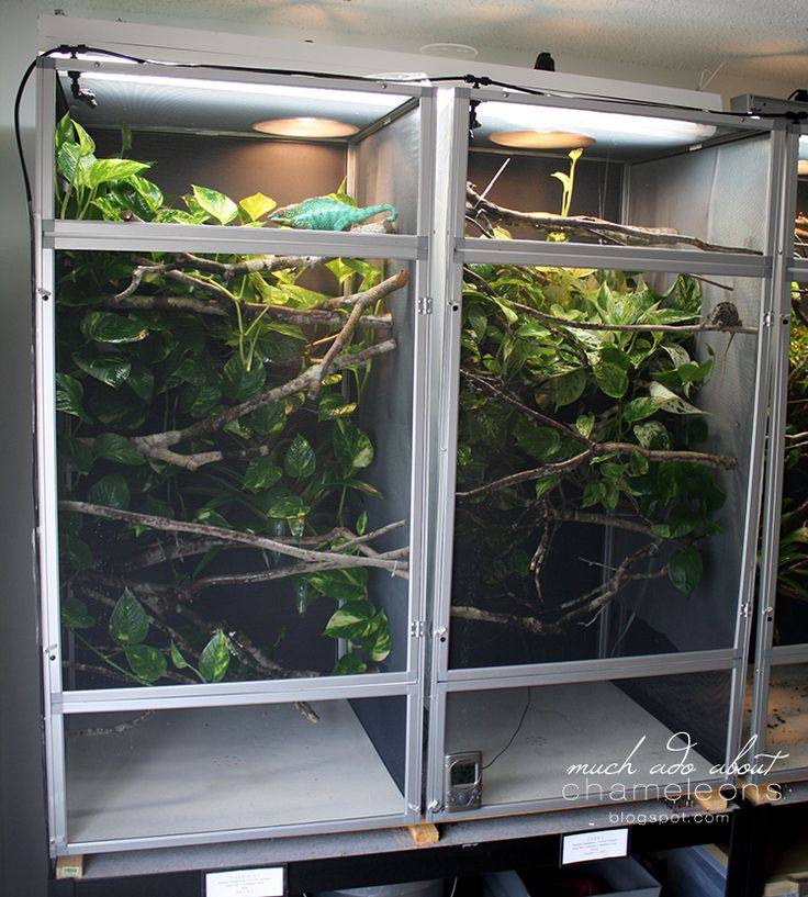 Much Ado About Chameleons: How To Set Up A Proper Chameleon Enclosure